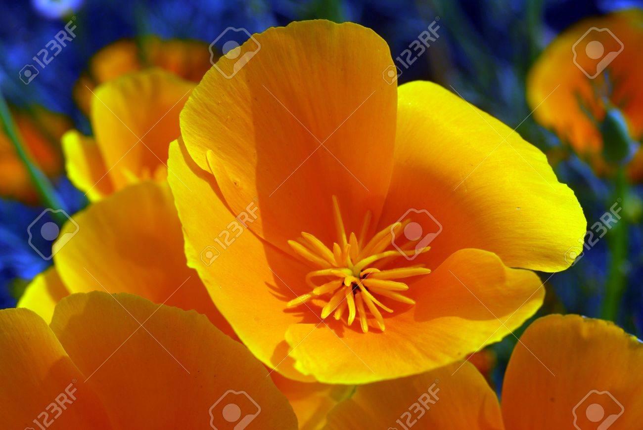 Isolated shot of a yellow california poppy flower stock photo isolated shot of a yellow california poppy flower stock photo 7676694 mightylinksfo