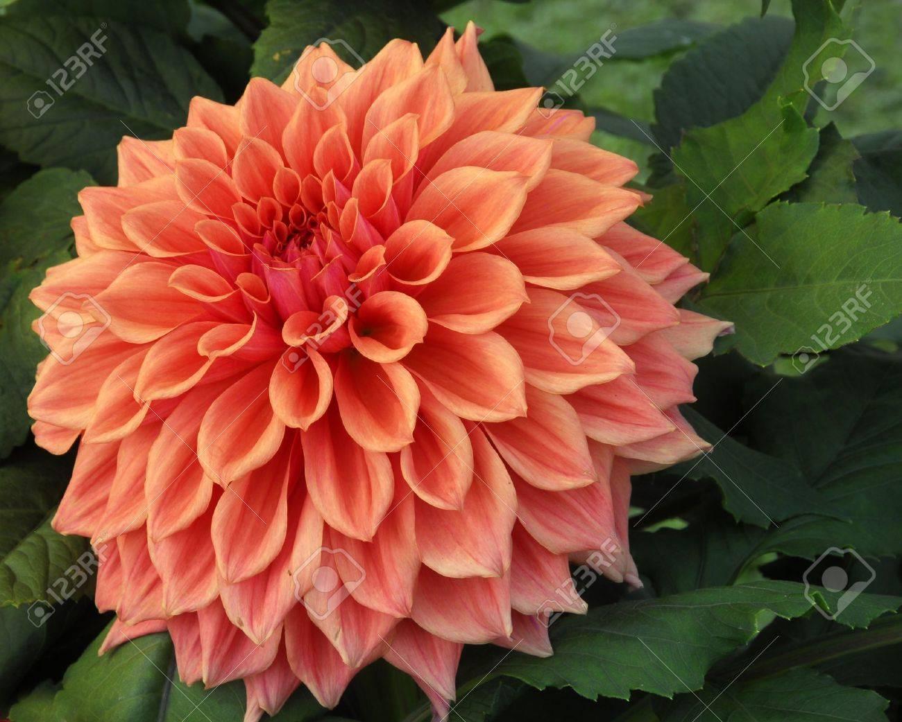An isolated shot of orange dahlia flower stock photo picture and an isolated shot of orange dahlia flower stock photo 8440693 izmirmasajfo