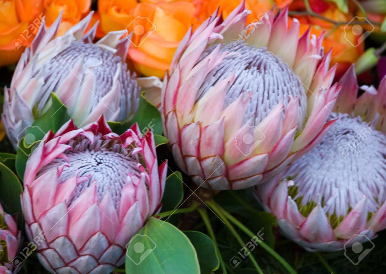 이국적인 희귀 하와이 핑크 화이트 Protea Cynaroides 꽃 자이언트 ...