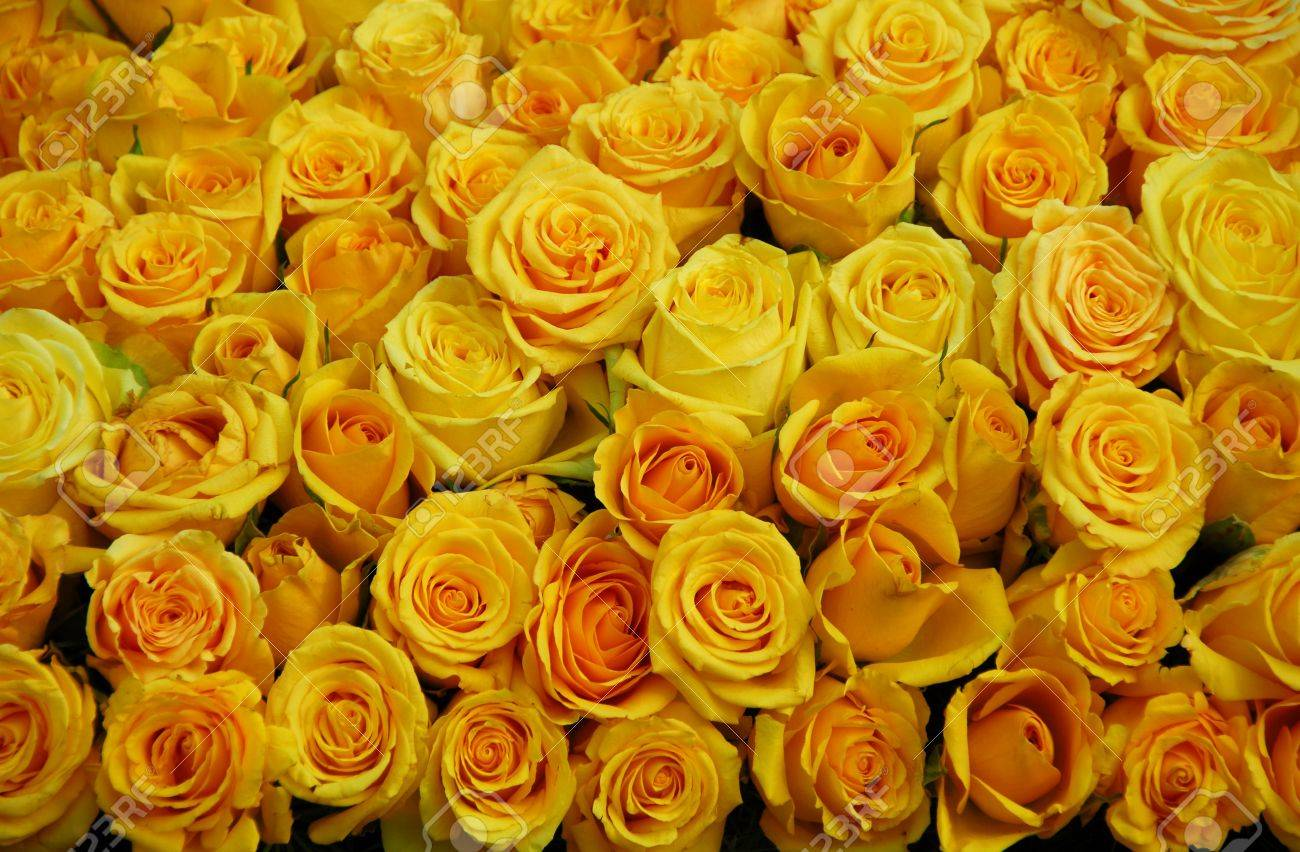 Cluster Of Yellow Rose Flowers In Bloom Stock Photo Picture And