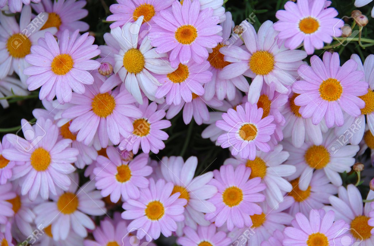 Cluster Of Purple Pink Yellow Daisy Flowers In Bloom Stock Photo