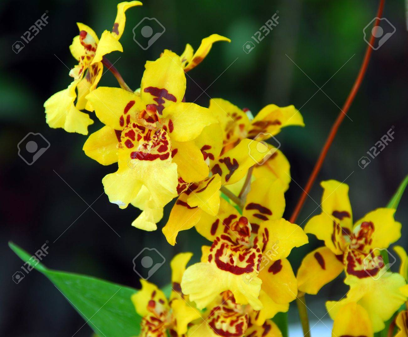 Closeup Of A Yellow Brown Orchid Flower Stock Photo Picture And