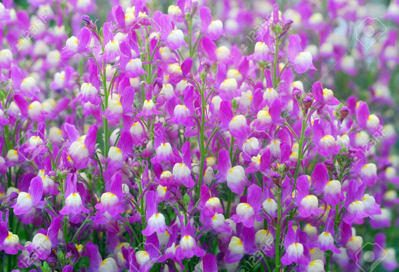Small Purple White Flowers Blooming In A Garden Stock Photo Picture