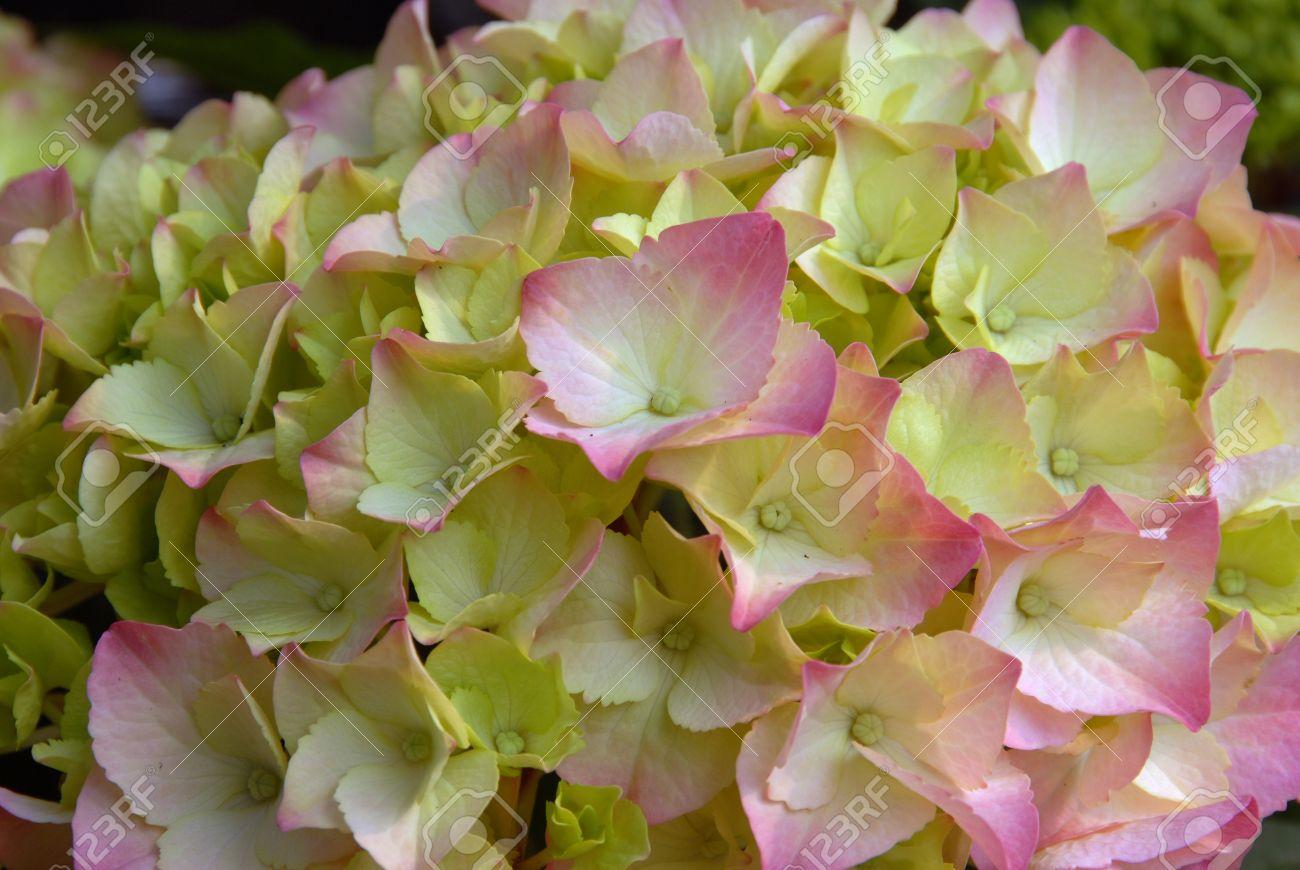 Pink yellow hydrangea flower cluster in bloom in spring stock photo pink yellow hydrangea flower cluster in bloom in spring stock photo 13862274 mightylinksfo