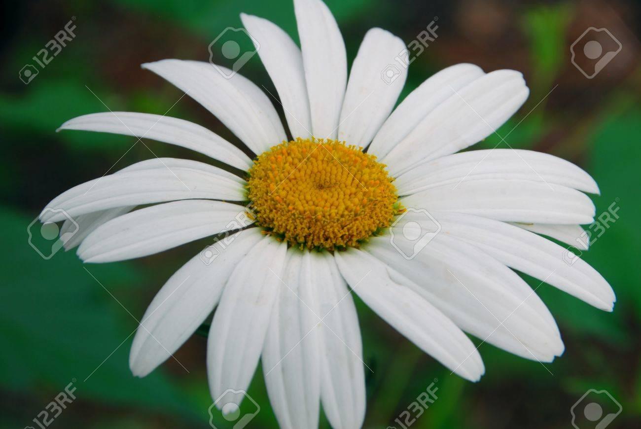 Gerbera daisy white yellow flower in bloom in spring royalty free gerbera daisy white yellow flower in bloom in spring stok fotoraf 14015403 mightylinksfo