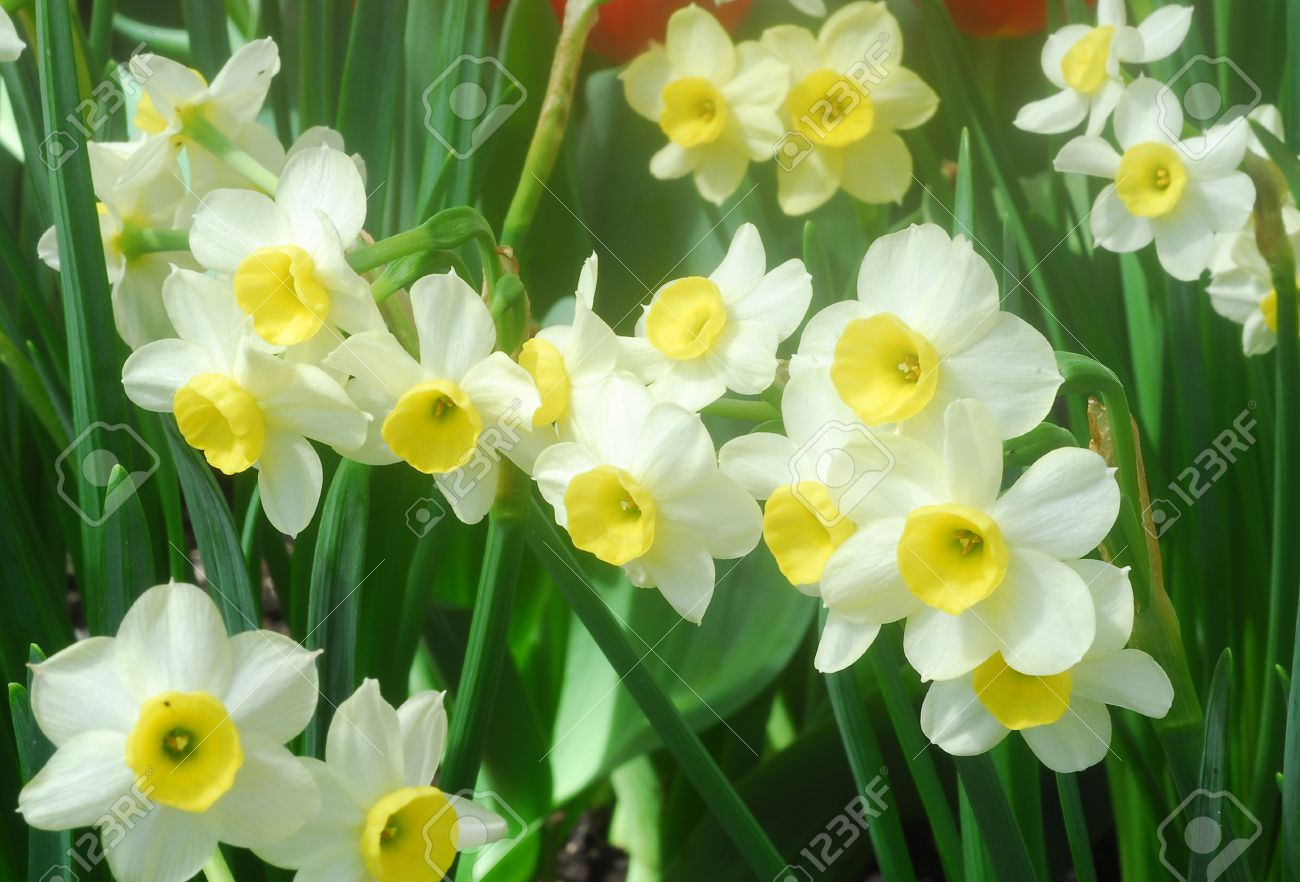 White yellow daffodil flower also called narcissus blooms in stock stock photo white yellow daffodil flower also called narcissus blooms in early spring mightylinksfo