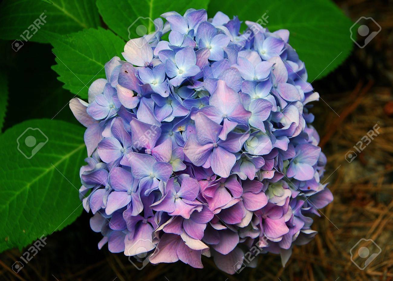 bleu rose hortensia hortensia en fleur au printemps banque d