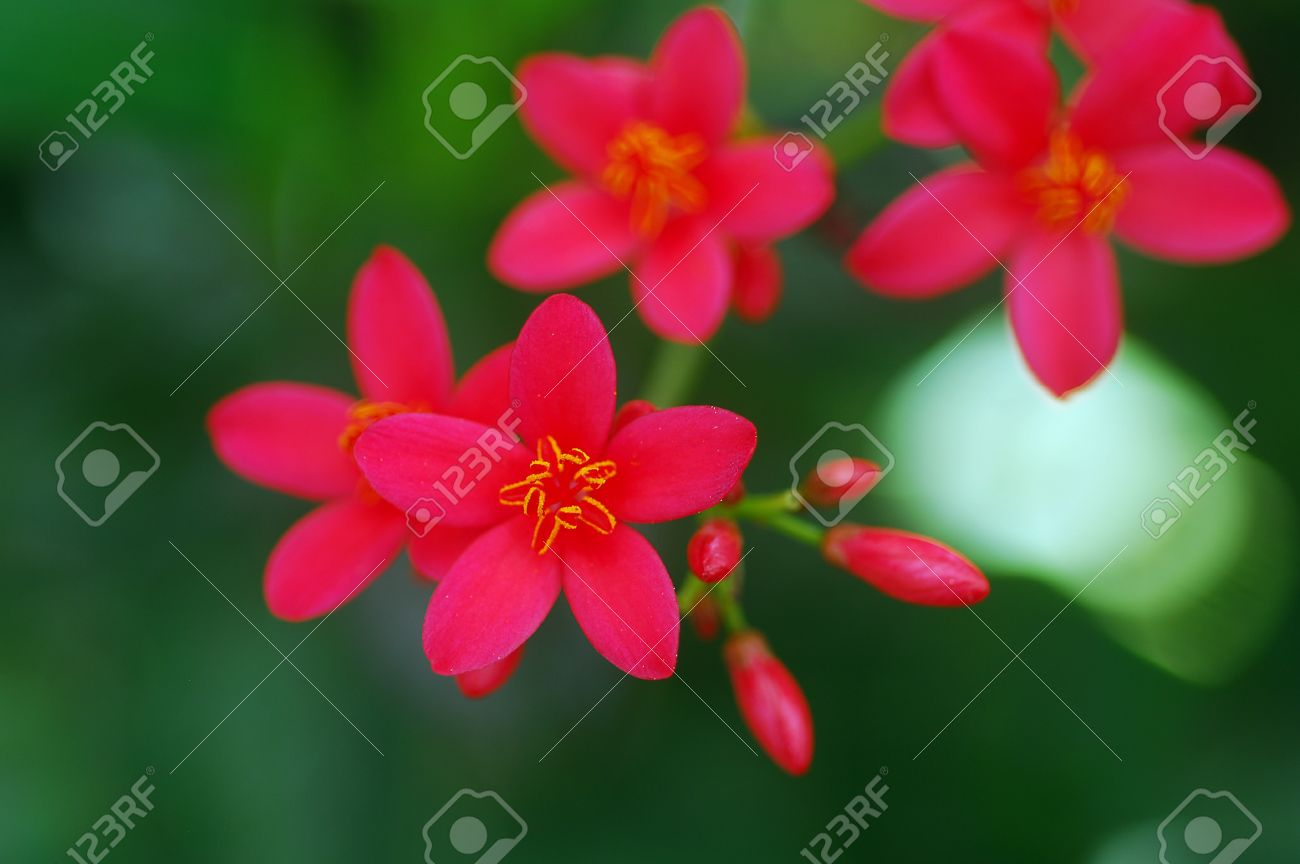 Small Red Flowers In Bloom In Spring On A Shrub Stock Photo Picture