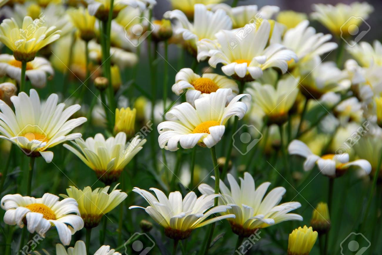 Gerbera Daisy White Yellow Flower In Bloom In Spring Stock Photo