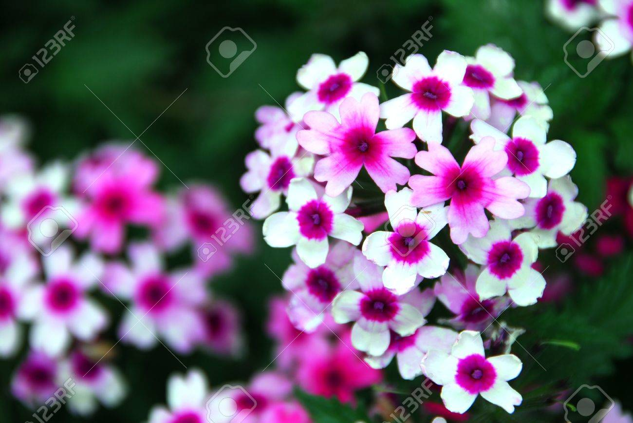 Small pink white flowers blooming in a round pattern stock photo small pink white flowers blooming in a round pattern stock photo 19274182 mightylinksfo