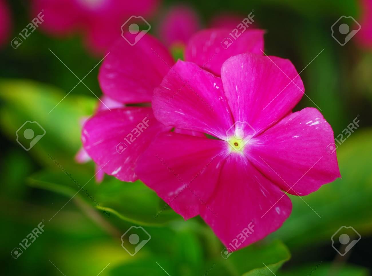 Pink Vinca Periwinkle Flower In Bloom In Spring Stock Photo Picture