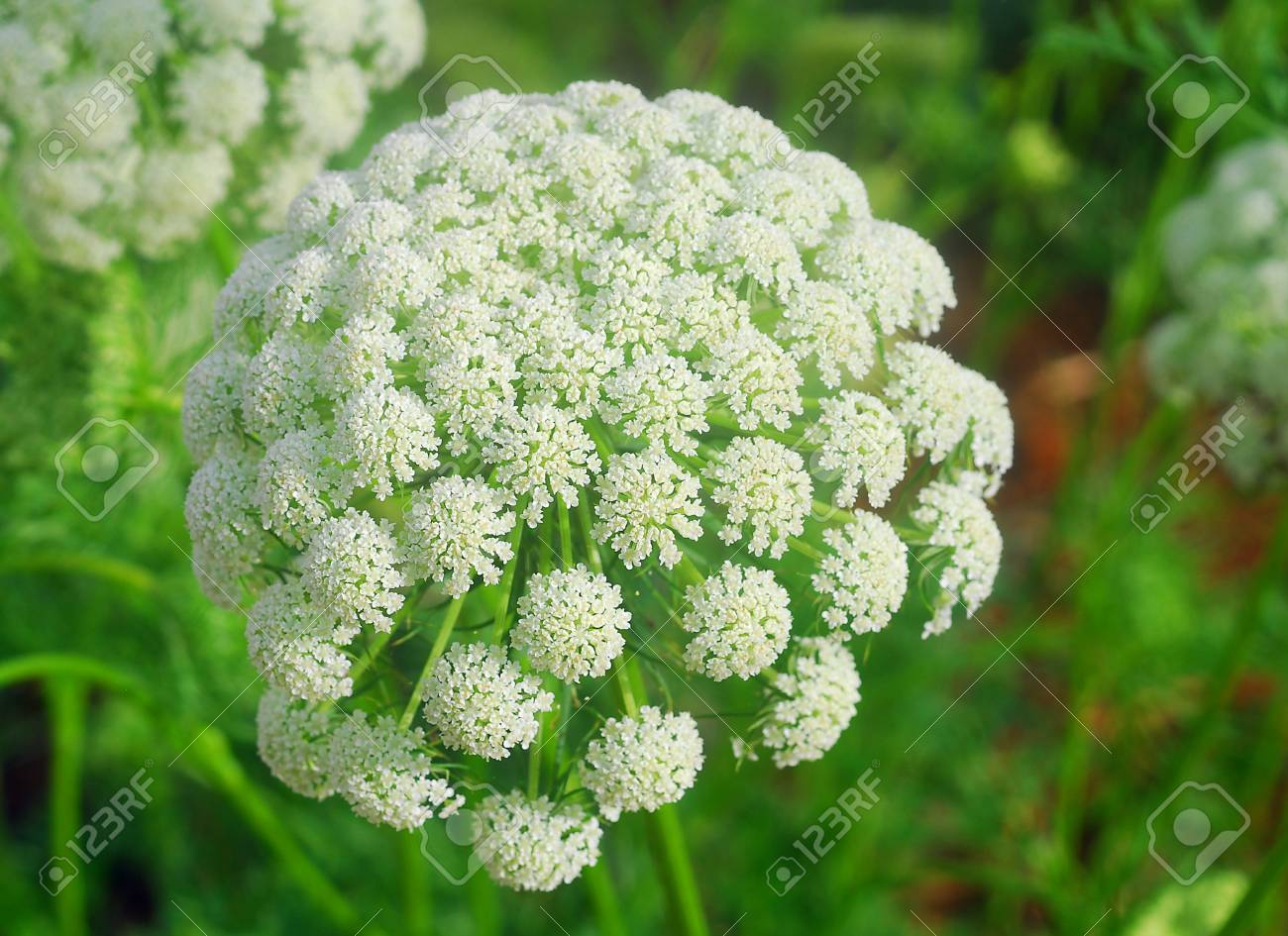White Onion Flower Cluster In Bloom In Spring Stock Photo Picture