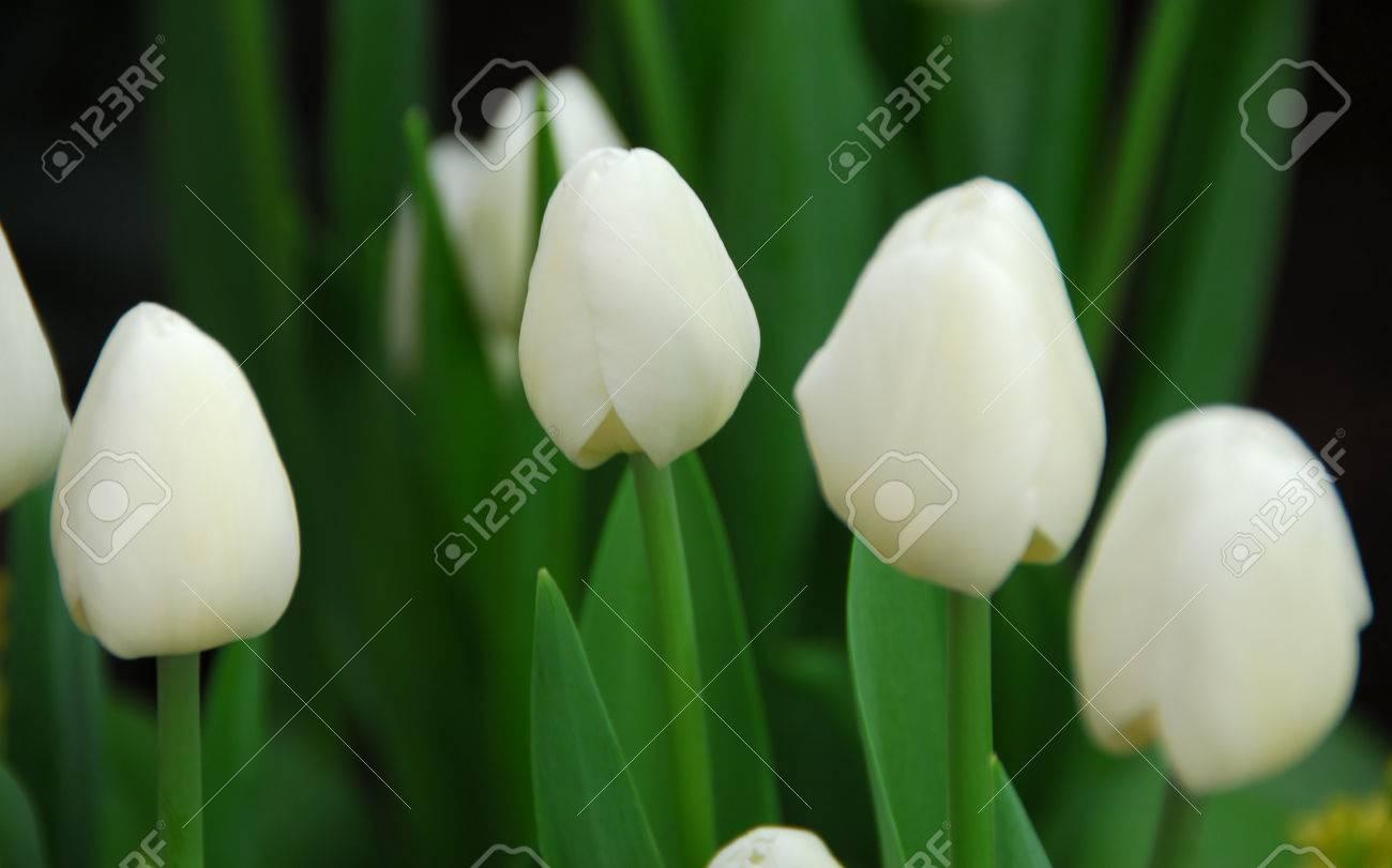 Fleur De Tulipe Blanche En Fleurs Au Printemps Banque D Images Et