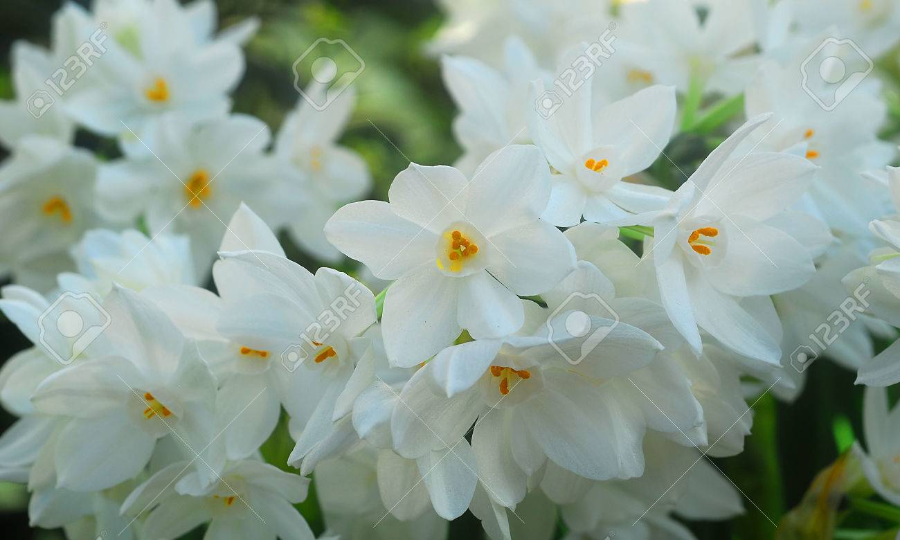 White paperwhite narcissus flower in bloom in spring stock photo stock photo white paperwhite narcissus flower in bloom in spring mightylinksfo
