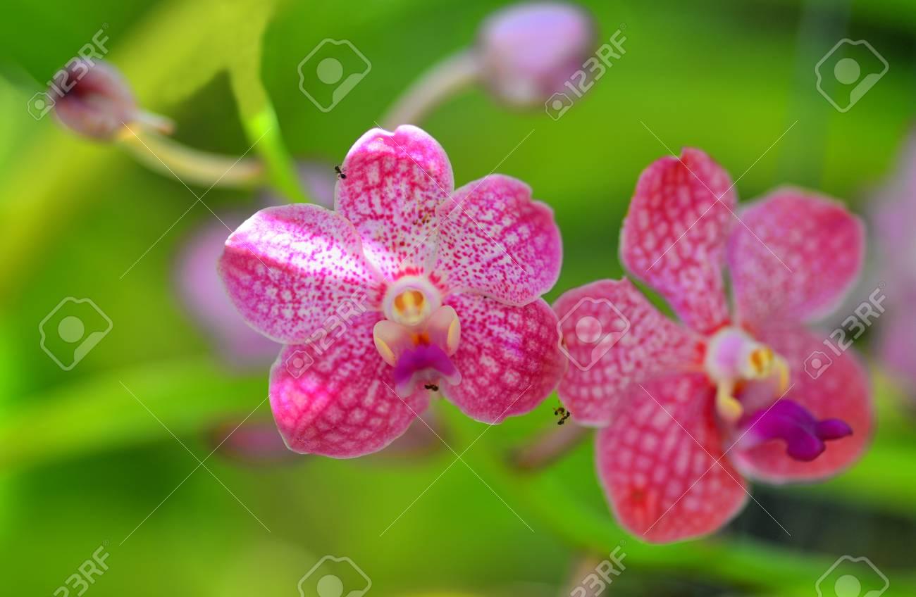Pink White Vanda Orchid Flower In Bloom In Spring Stock Photo