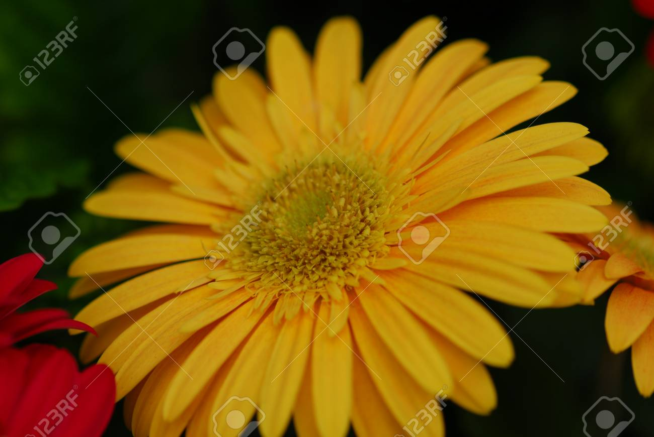 Yellow Color Gerbera Flower In Bloom In Spring Stock Photo Picture