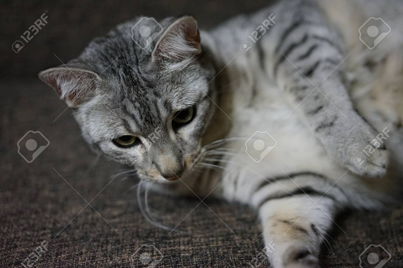 https://previews.123rf.com/images/boysintown/boysintown1711/boysintown171100071/89458762-egyptian-mau.jpg