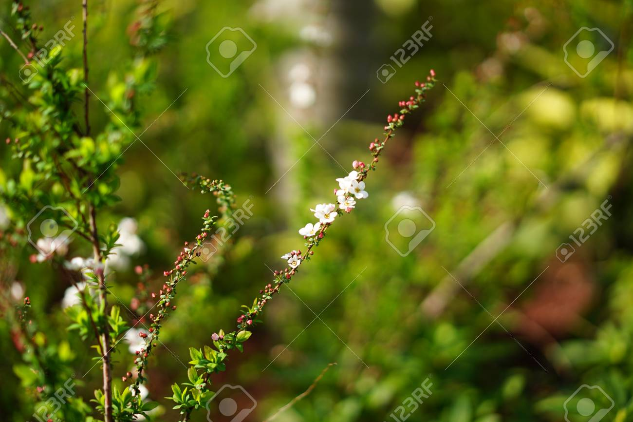 Small White Flowers In Spring Stock Photo Picture And Royalty Free