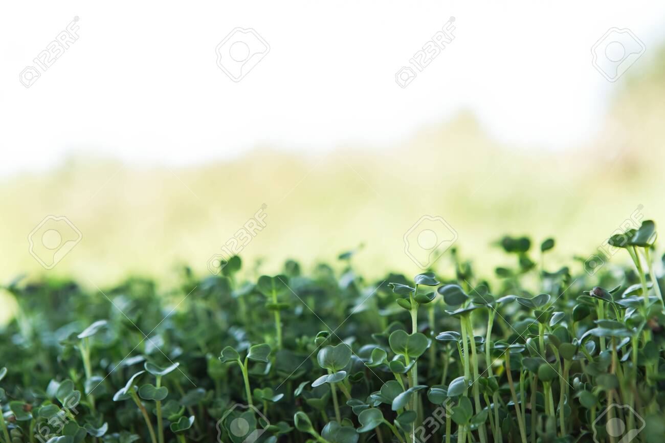 Fresh microgreen background in natural light. Natural background. - 123202170