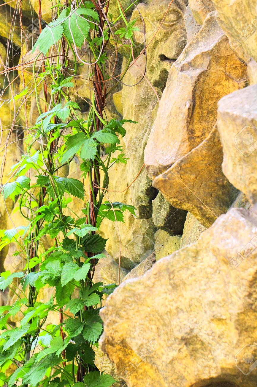 Decorative Stone Wall With Crawling Green Vine Stock Photo, Picture ...