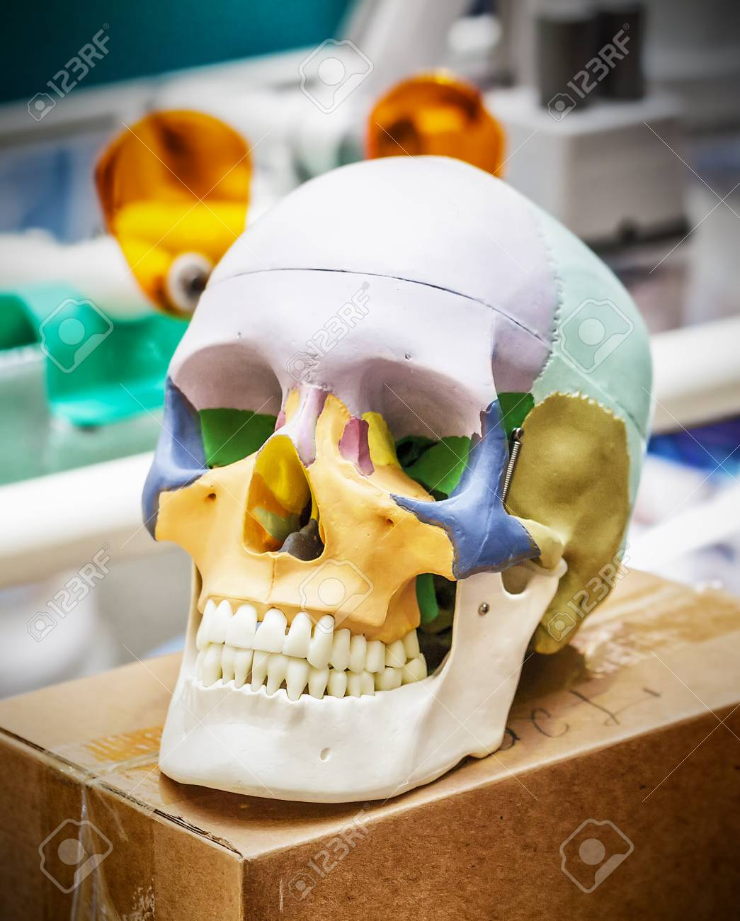 Anatomy Human Skull Model Stock Photo Picture And Royalty Free