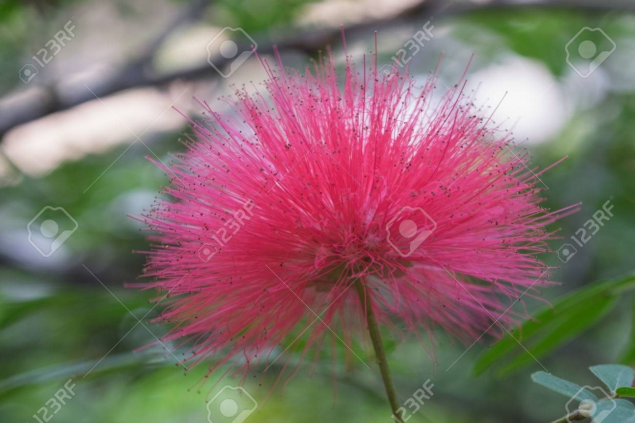 Fluffy Pink Mimosa Flower On Tree In Garden In Evening Stock Photo