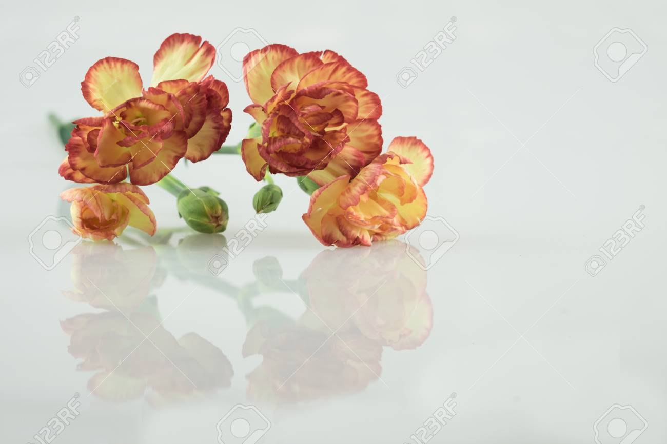 Orange Yellow Carnation Flower Carnation Flower White Carnation ...