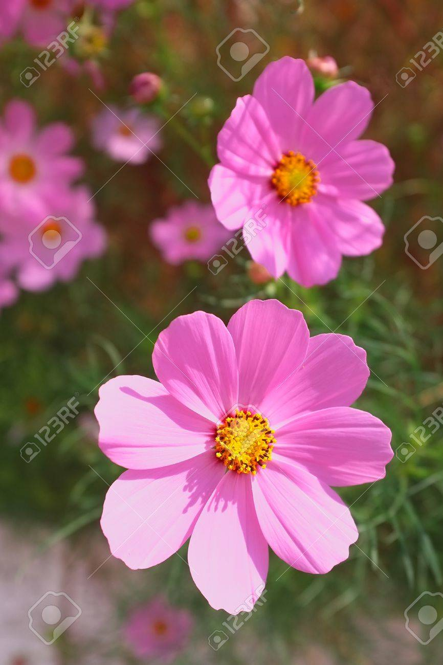 Beautiful bright pink cosmos flowers in the sunlight stock photo beautiful bright pink cosmos flowers in the sunlight stock photo 33448941 mightylinksfo