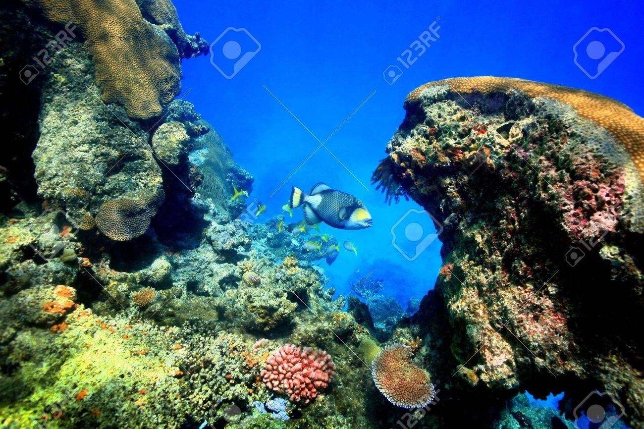 Large trigger fish in a deep reef pocket with beautiful coral garden IN FIJI. Stock Photo - 5184683