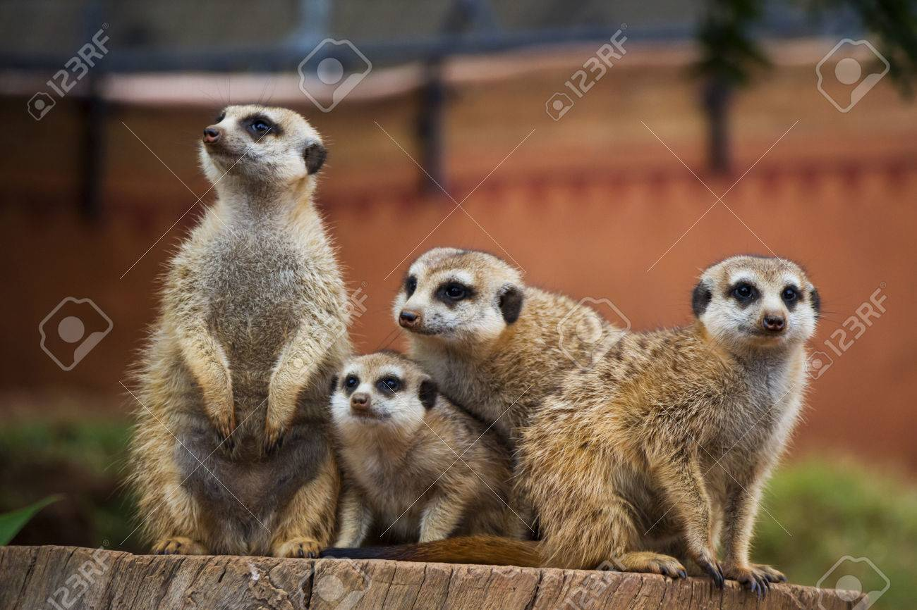 A Portrait of a Group of Meerkats Stock Photo - 22661610