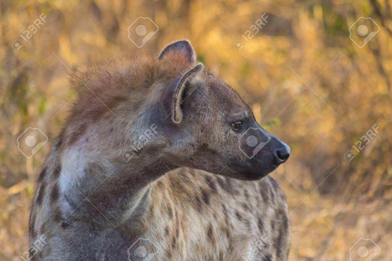 Erwachsene Hyäne In Freier Wildbahn Lizenzfreie Fotos, Bilder Und ...
