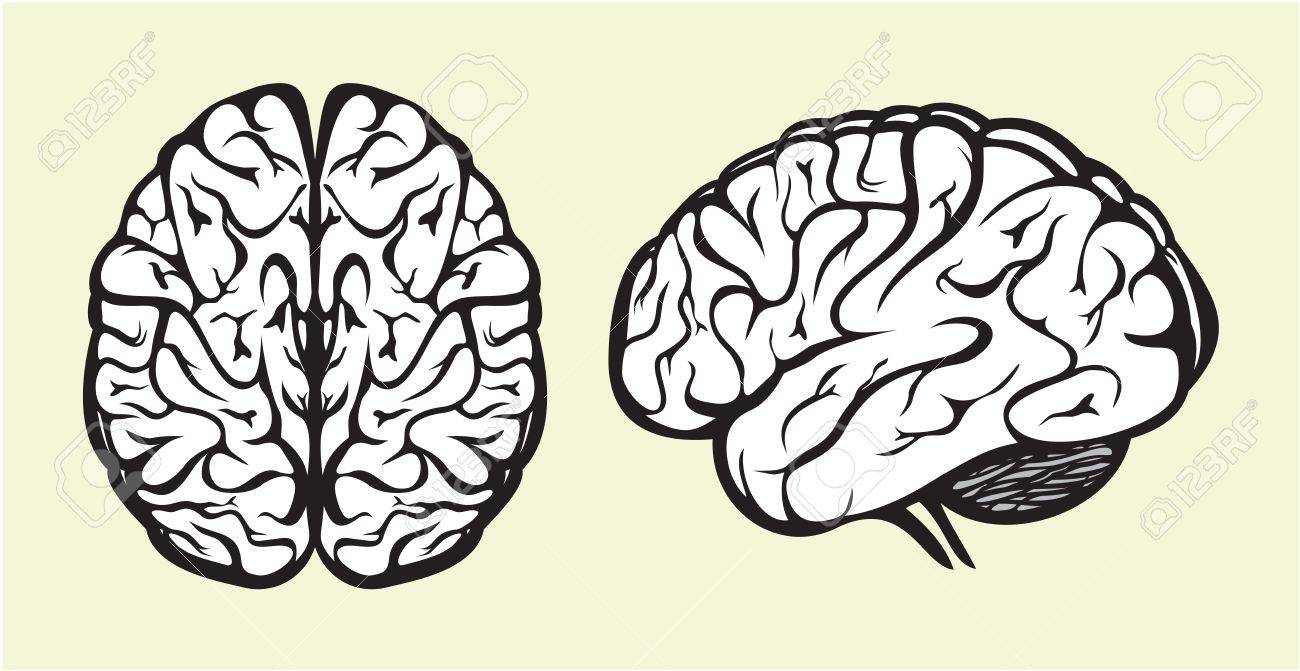 human brain Stock Vector - 15971470
