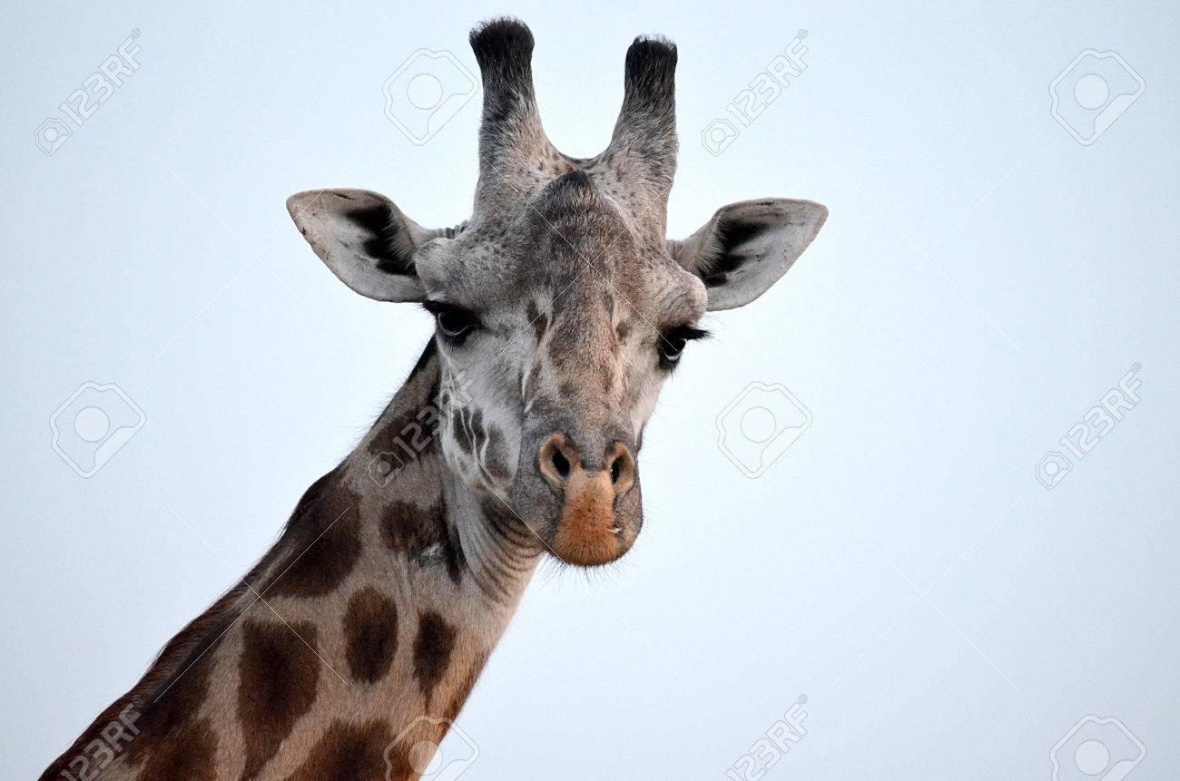 キリンの顔 の写真素材 画像素材 Image