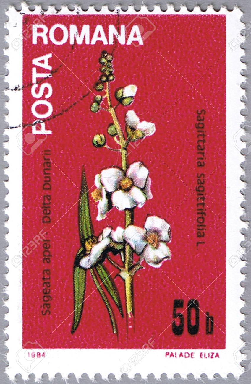 ROMANIA - CIRCA 1984: A stamp printed in Romania shows Sagittaria sagittifolia or arrowhead, series, circa 1984 Stock Photo - 12256309