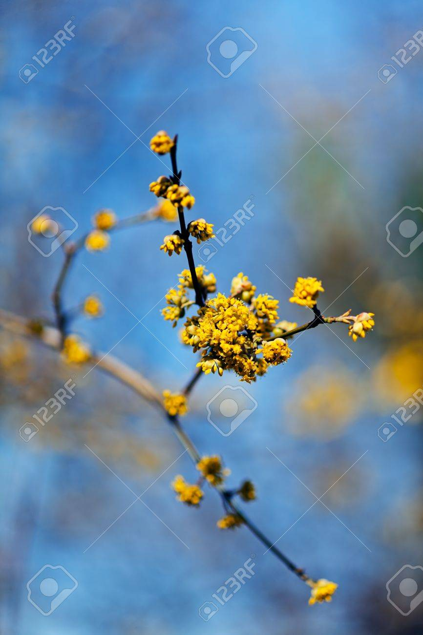 Arbusto A Fiori Gialli i fiori gialli dell'arbusto di cornel (mas della cornina), su fondo blu  naturale, annotano la profondità di campo bassa