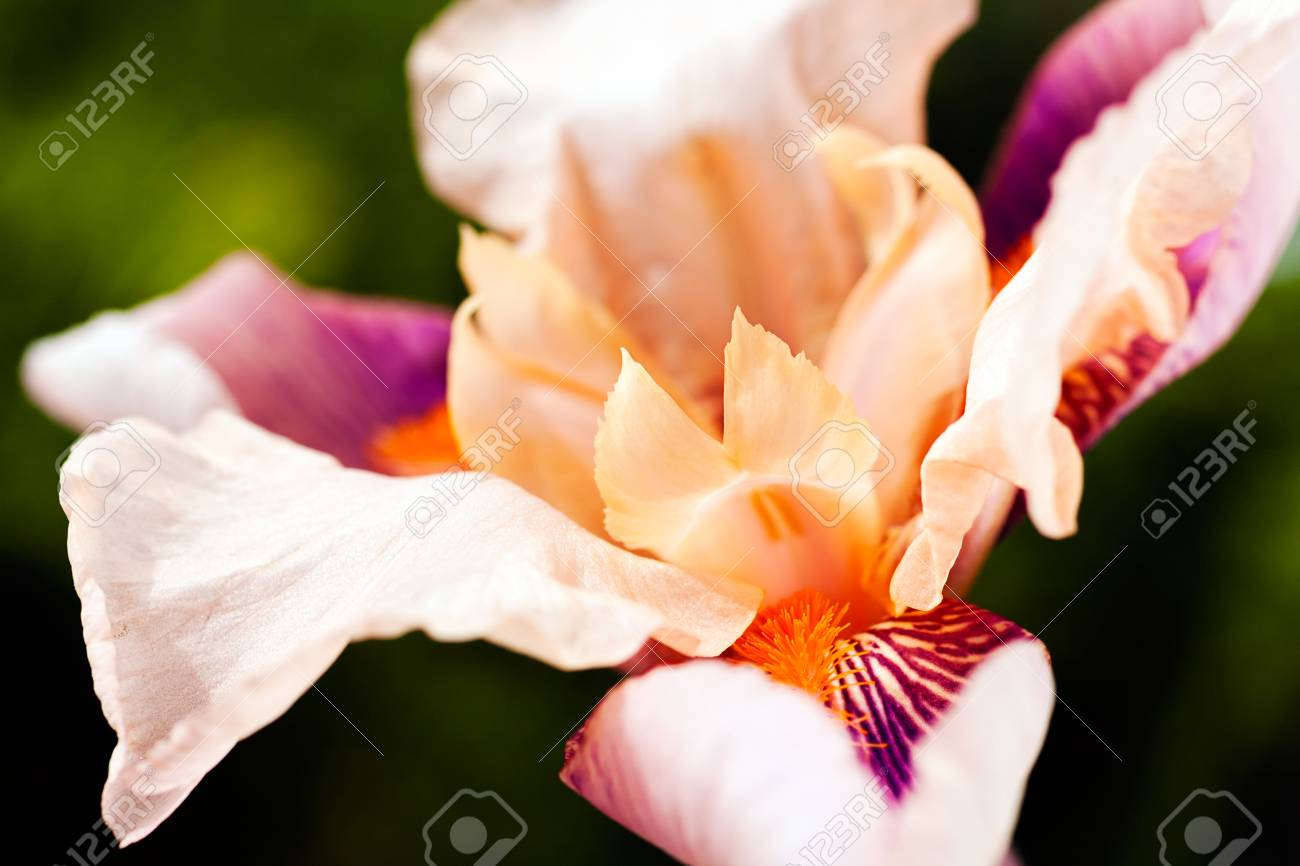 Beautiful purple and white iris flowers on natural background beautiful purple and white iris flowers on natural background note shallow depth of field stock izmirmasajfo