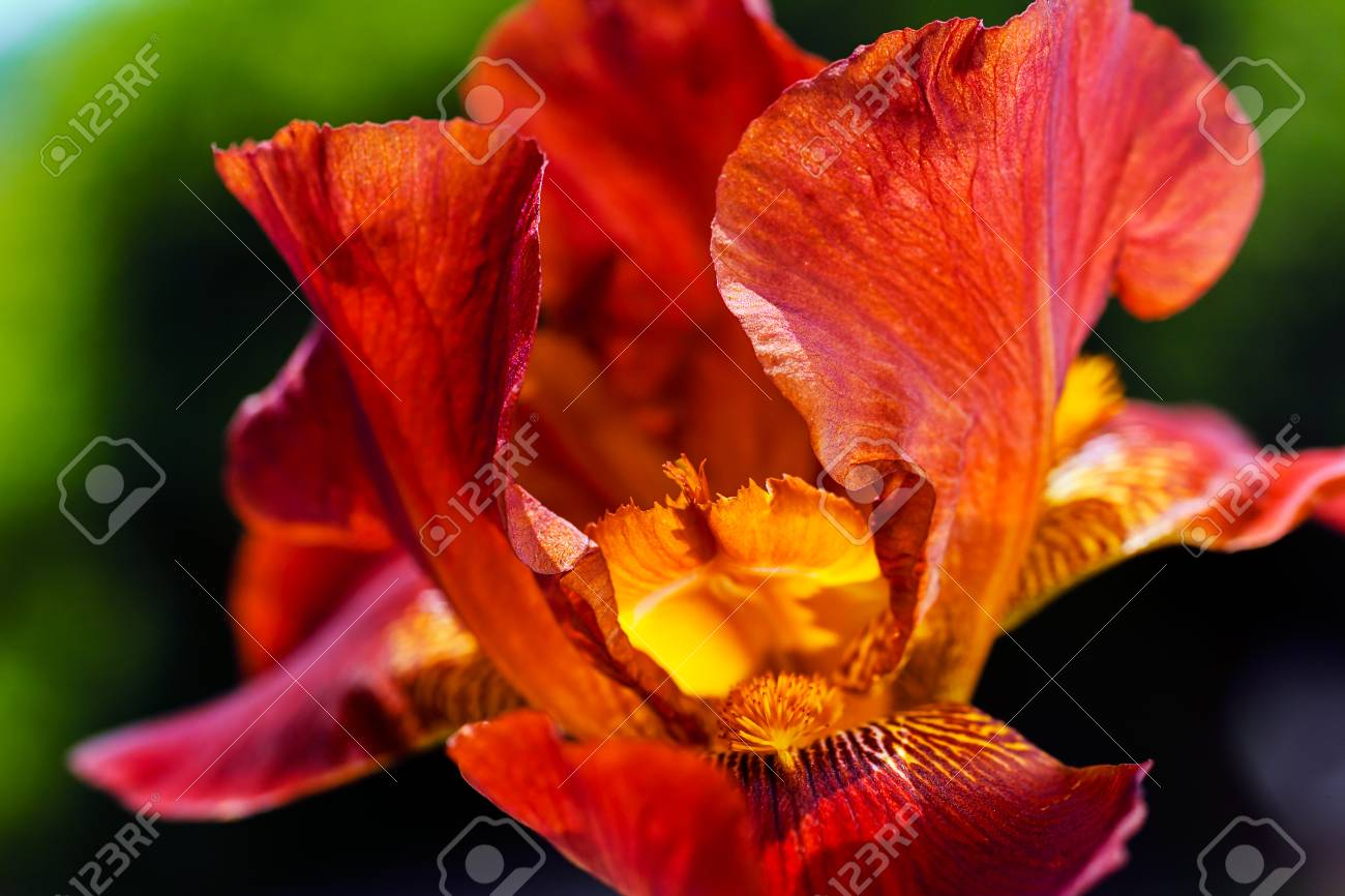 Bloom Of Red Iris Note Shallow Depth Of Field Stock Photo Picture