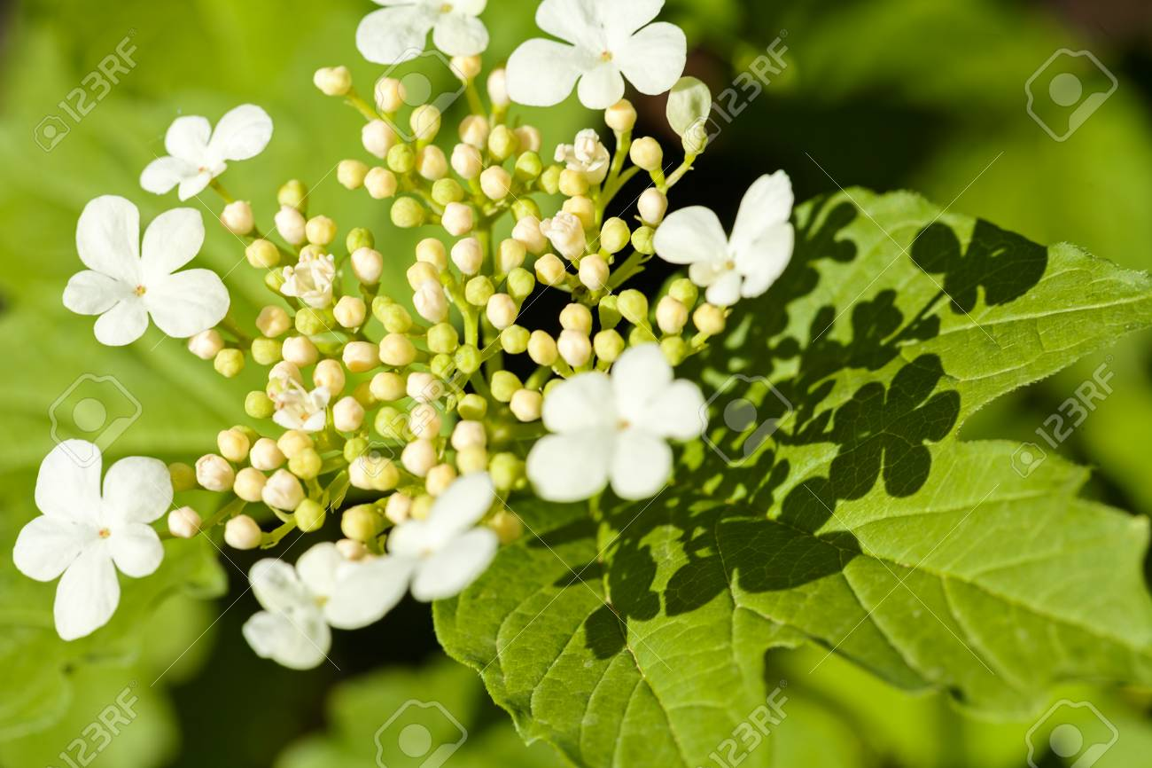 Ornamental Shrubs With White Flowers In Bloom Note Shallow Depth