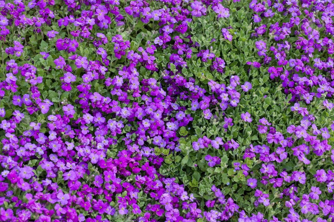 Fiori Viola Immagini.Immagini Stock Piccoli Fiori Viola Nel Campo Nota La Profondita