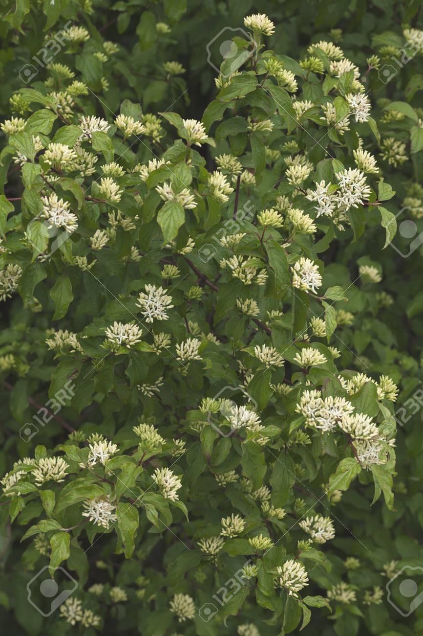 Arbusto Con Fiori Bianchi.Immagini Stock Cornus Sanguinea Arbusto Con Piccoli Fiori