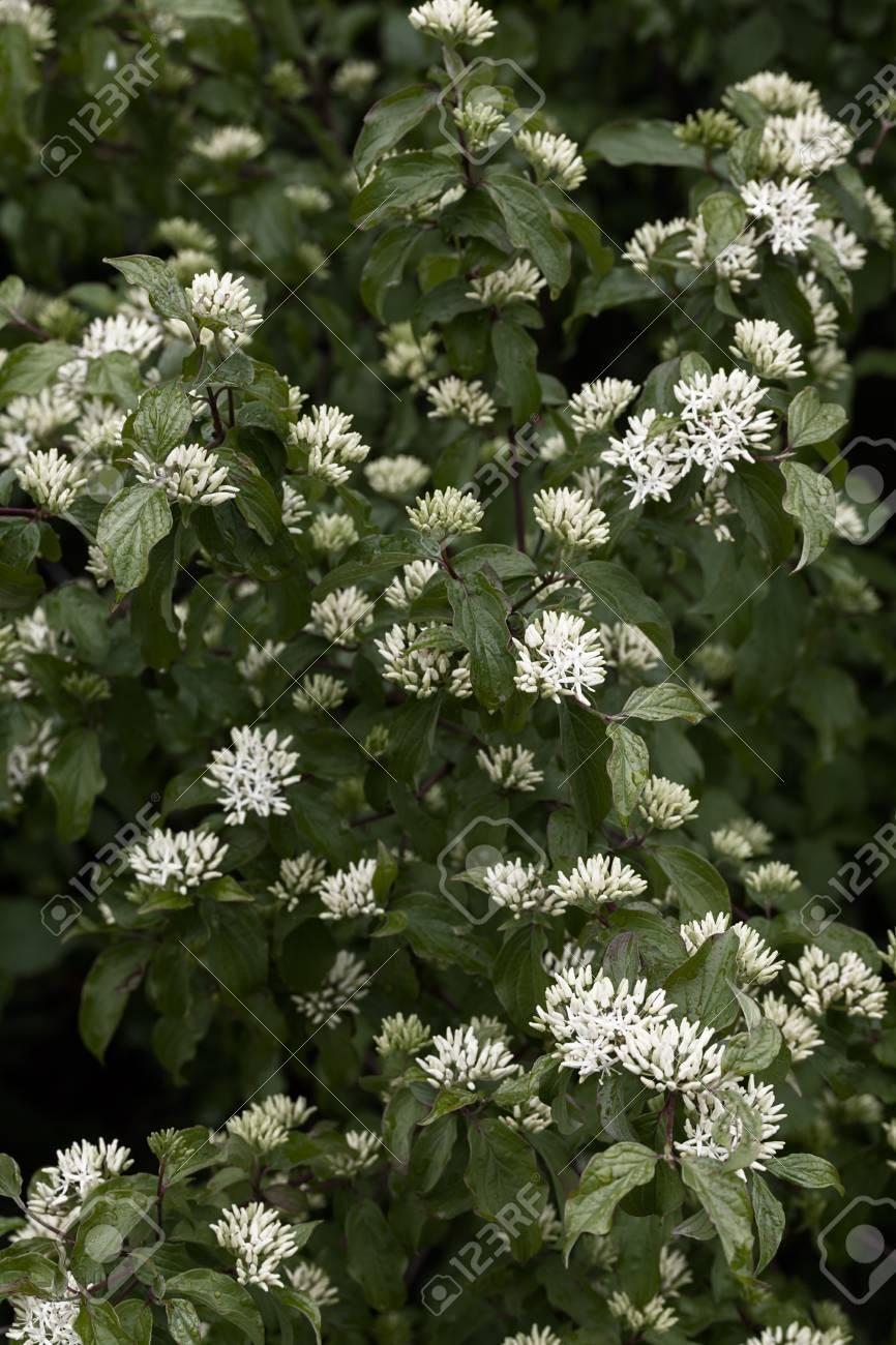 Arbusto Fiori Bianchi.Cornus Sanguinea Shrub With White Small Flowers In Nature Note