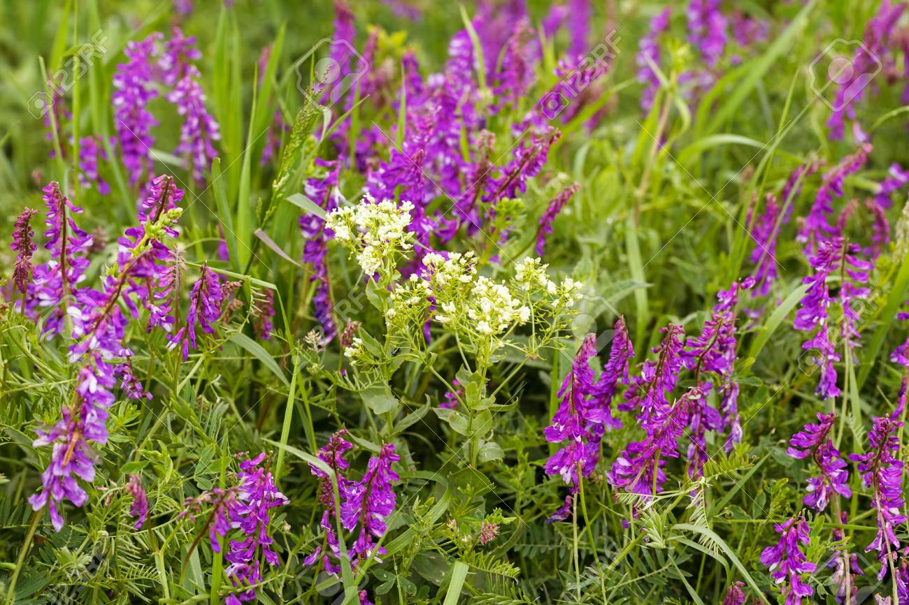 Wild Purple Flowers In Tall Green Grass Note Shallow Depth Of