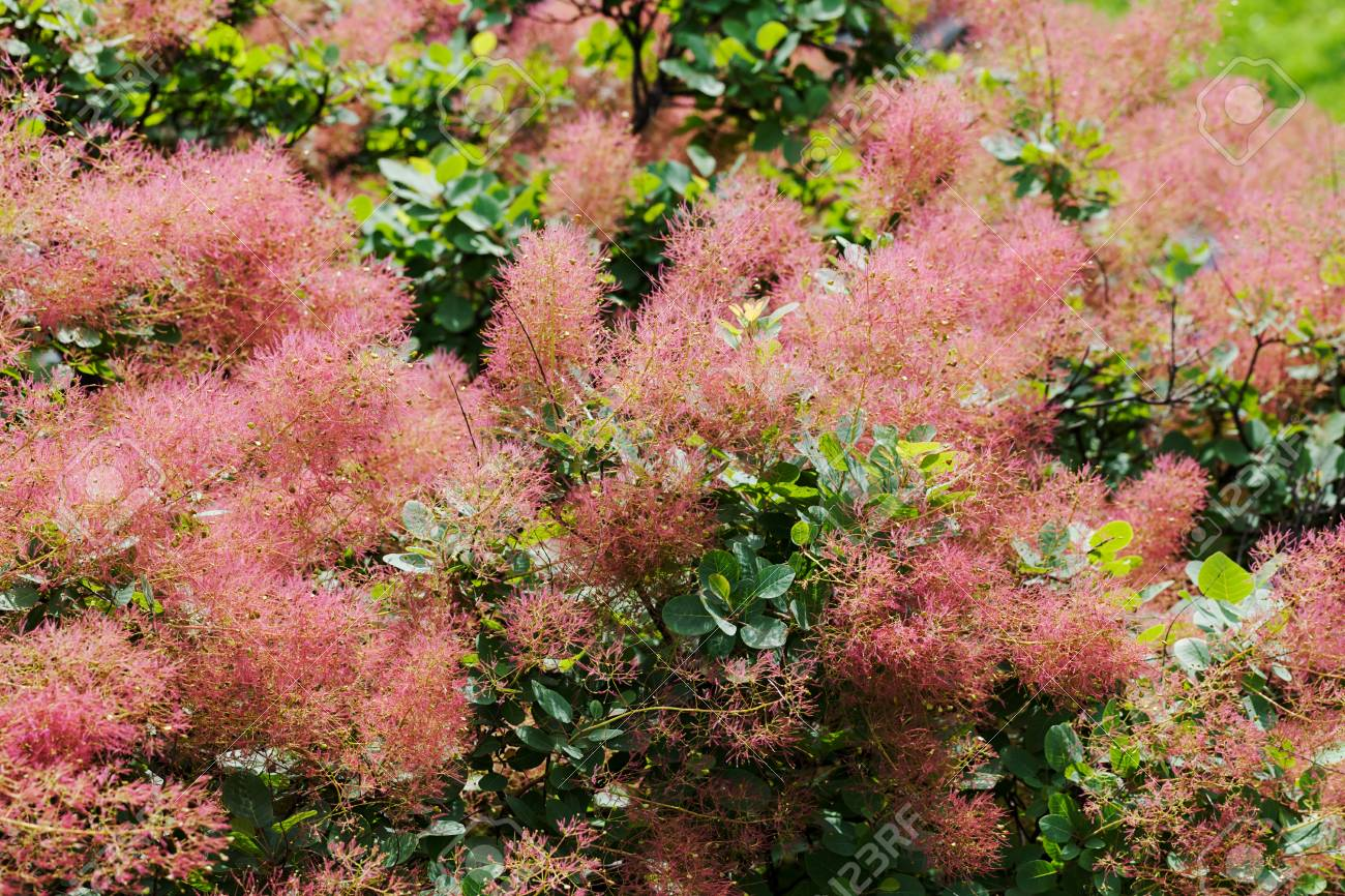 Fluffy Tree With Pink Flowers Note Shallow Depth Of Field Stock