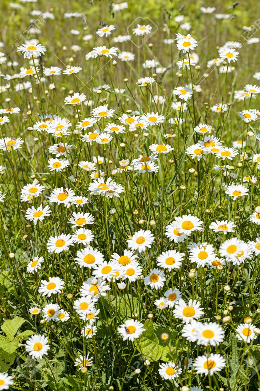 Flowers daisies in a meadow with green grass arround note shallow flowers daisies in a meadow with green grass arround note shallow depth of field stock izmirmasajfo