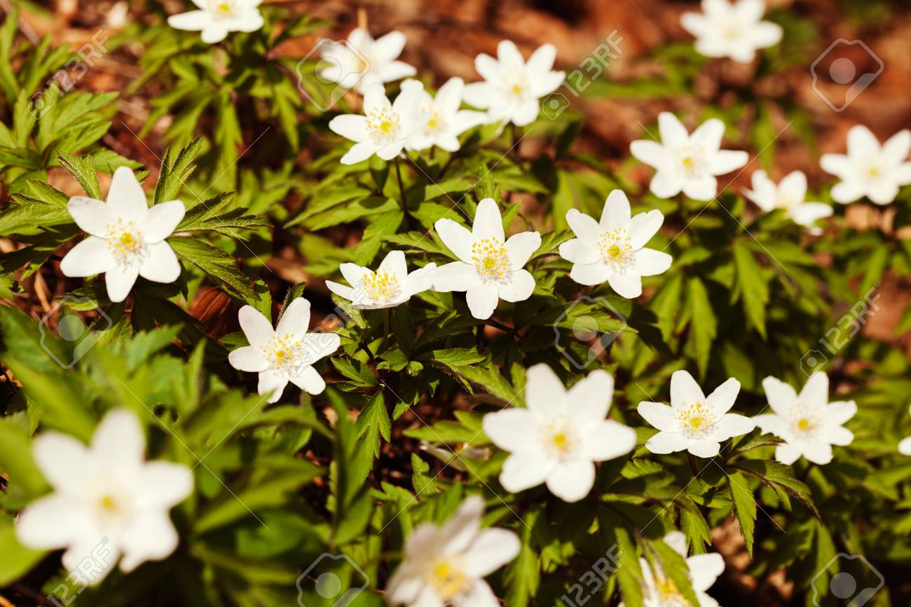 White starlike flowers in nature note shallow dept of field stock stock photo white starlike flowers in nature note shallow dept of field mightylinksfo