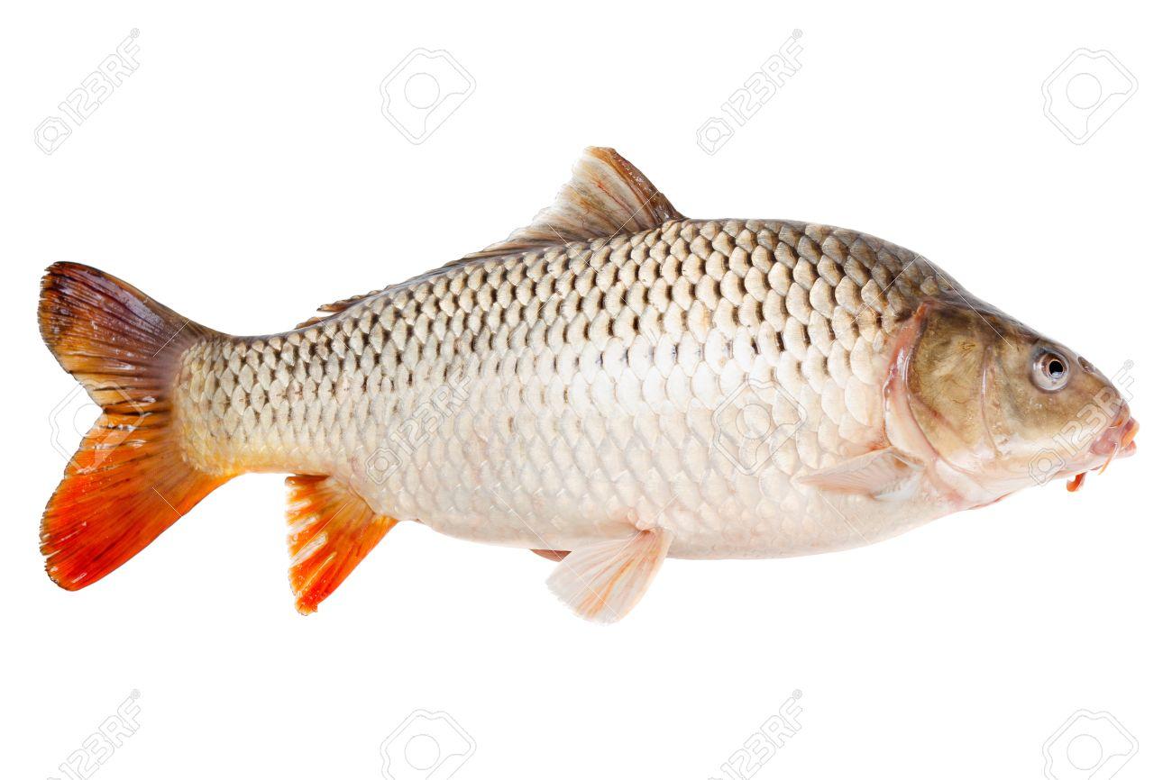 Freshwater fish bream - Freshwater Bream Common Carp Fish Half Face Isolated On White Background Stock