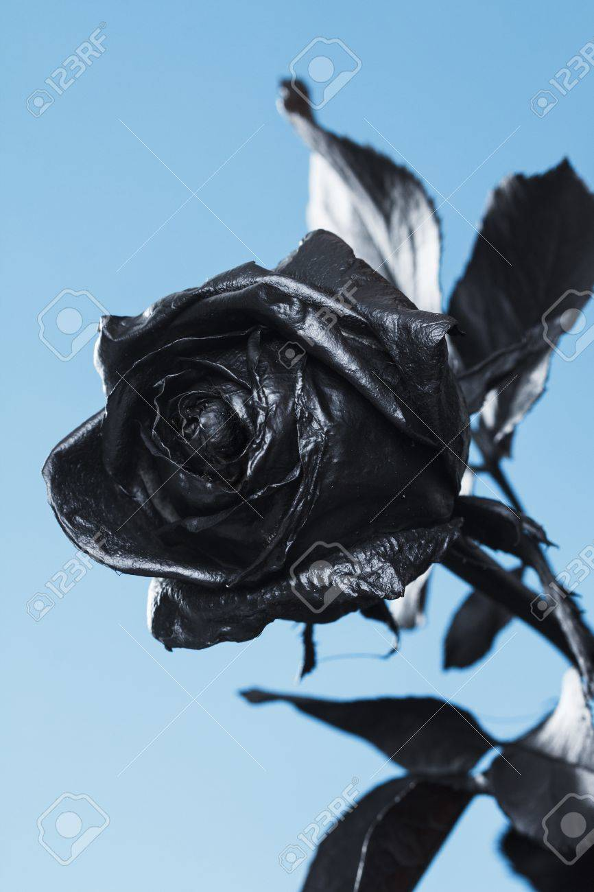 Black Rose. Concept, Symbol Of Sorrow, Melancholy And Sad Mood ...