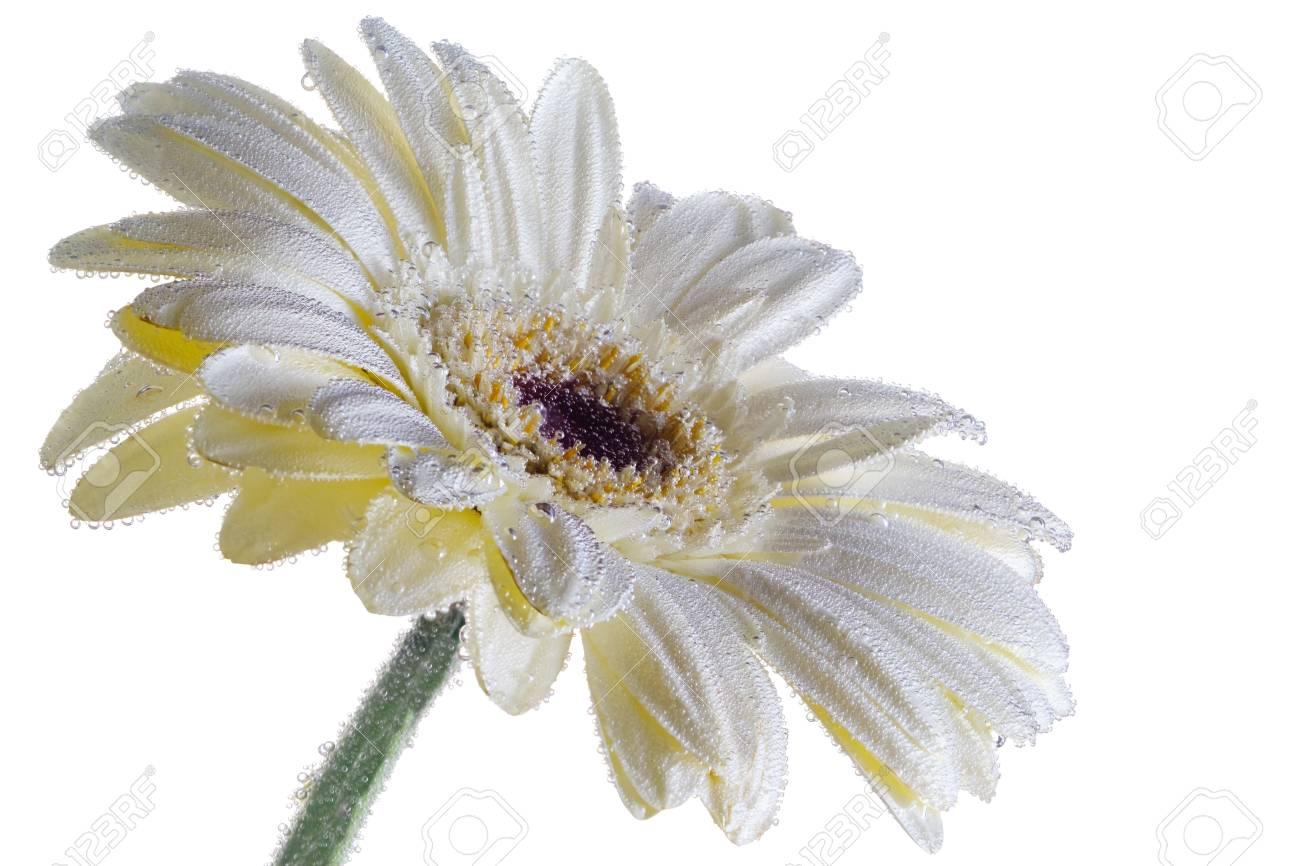 Beautiful White Gerbera Flower Under Water Background Blossom Stock