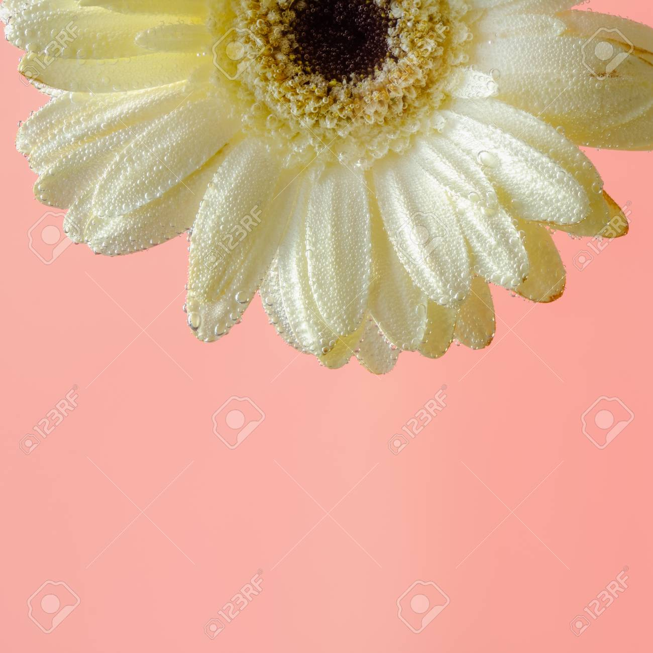 Beautiful White Gerbera Flower Under Water Pink Fuchsia Background