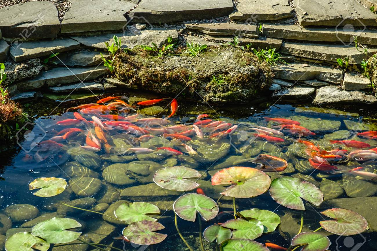 Japan Koifish Carp In Koi Pond Stock Photo Picture And Royalty Free Image Image 108856877